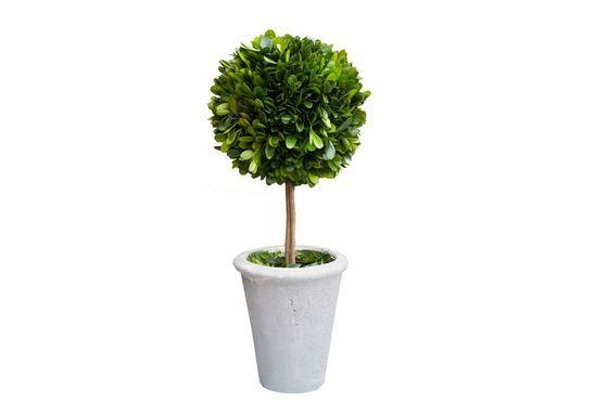 Buchsbaum in grauem Pflanztopf ohne jede Grenze